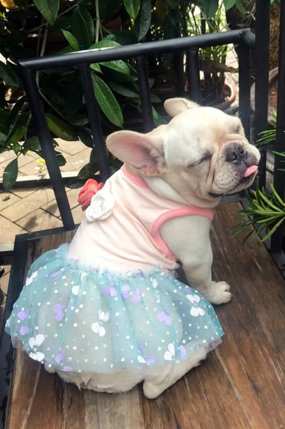 Best Girl French Bulldog Names & Their Meanings
