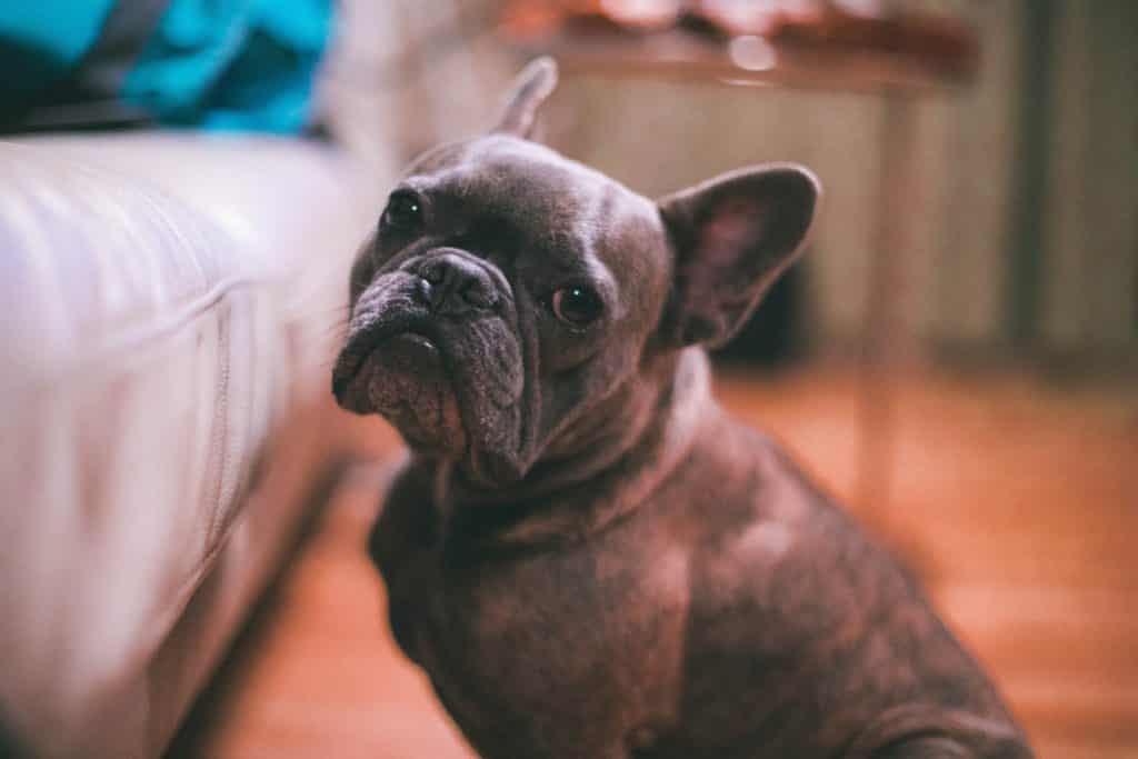 French Bulldog Puppy: What To Know Before You Buy