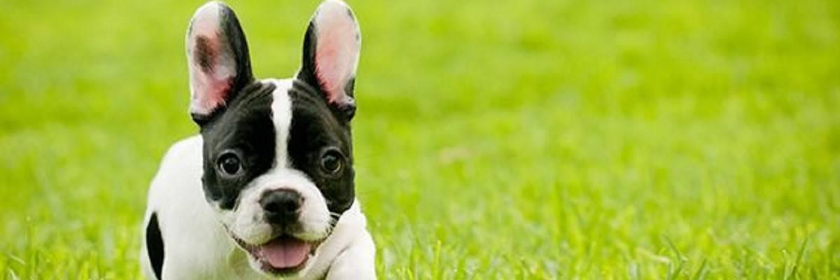 French Bulldog Clean Ears