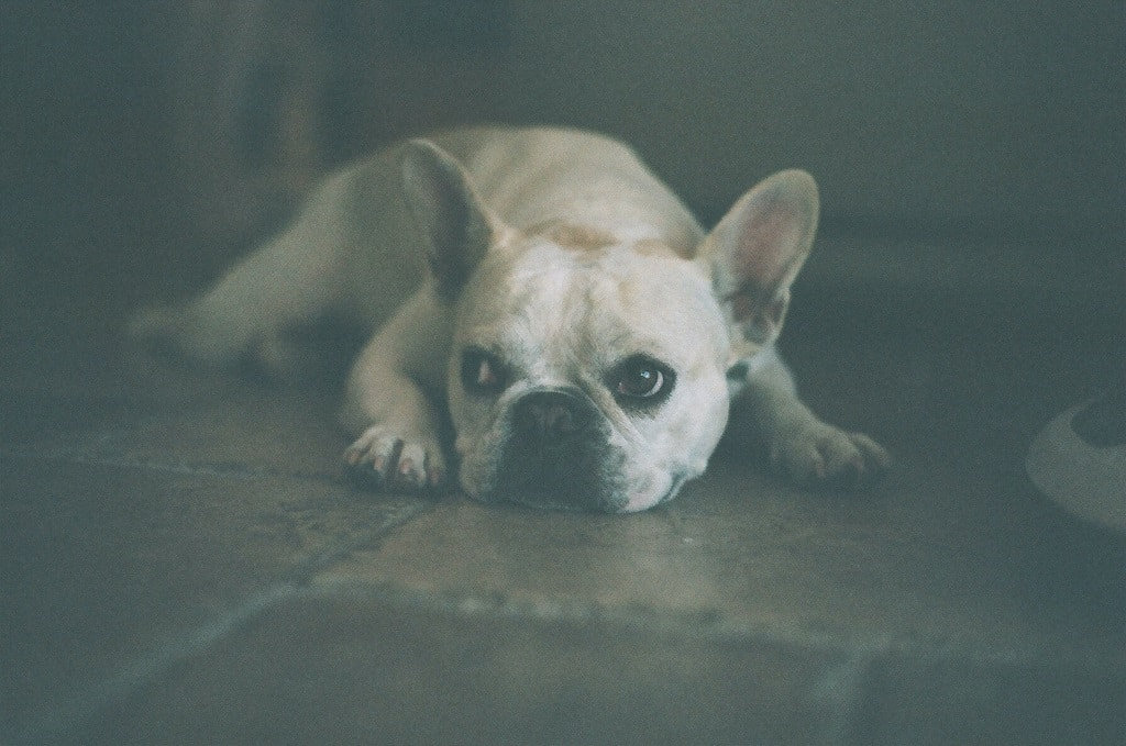 My French Bulldog Keeps Throwing Up - What To Do!