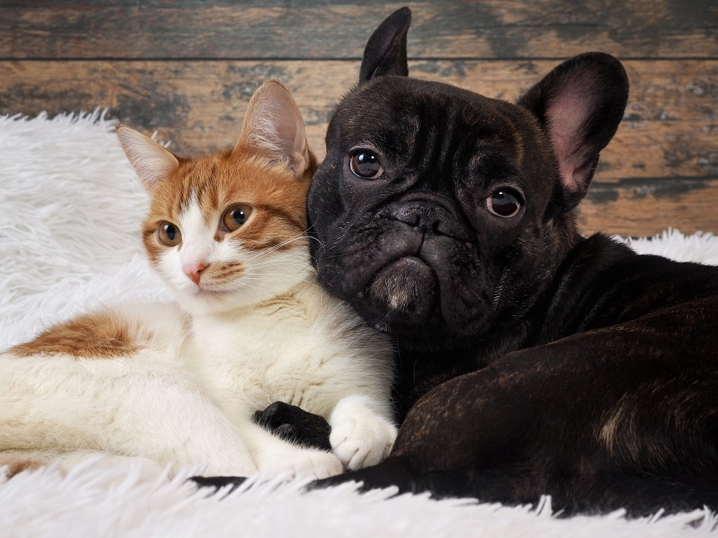 How To Introduce A French Bulldog To A Cat