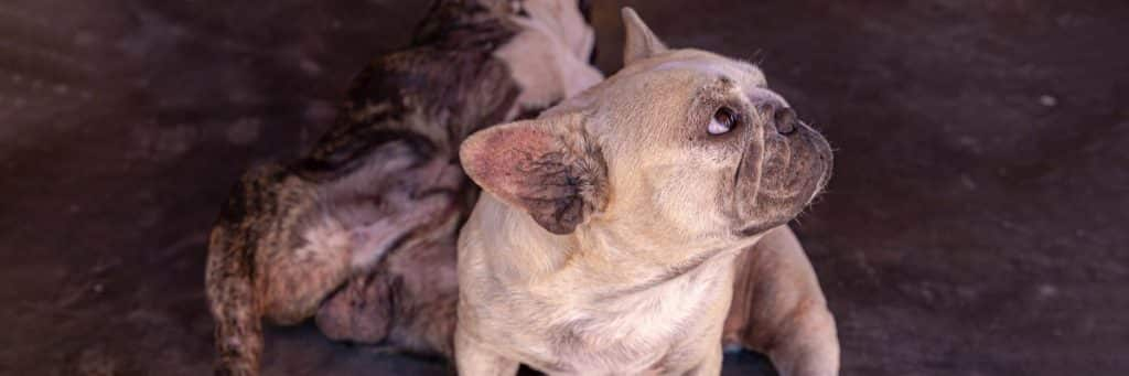 My French Bulldog Stinks - Top Products That Help