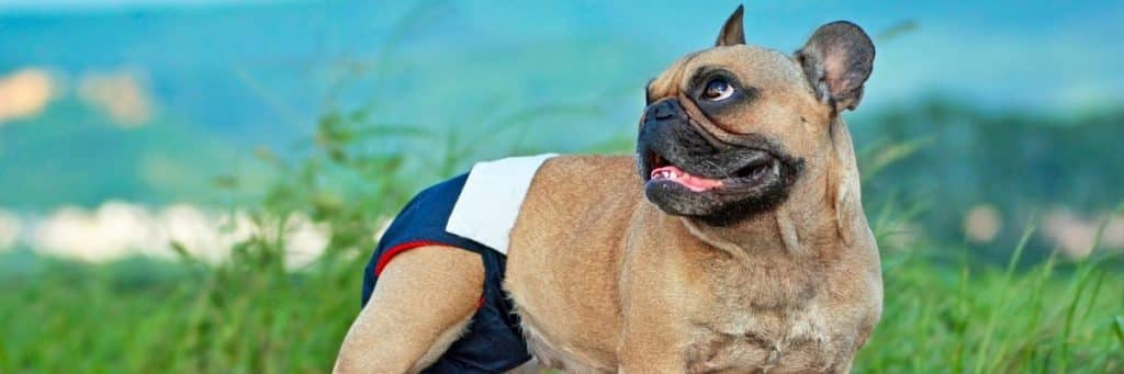 French Bulldog Periods - What You Should Know
