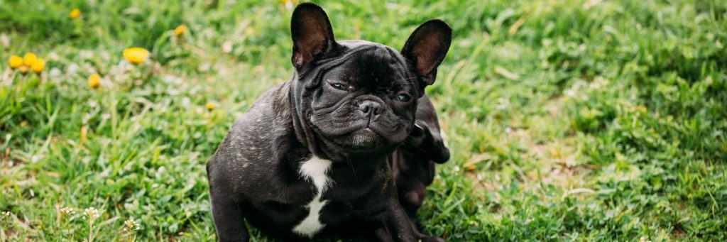 French Bulldog Allergies - Top Products That Help!