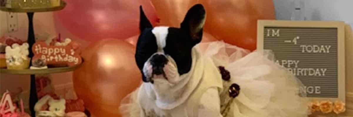 French Bulldog Birthday Party - How To Host