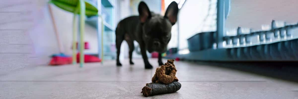 My French Bulldog Keeps Pooping in The House