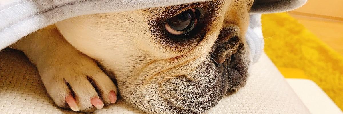 My French Bulldog Looks Sad