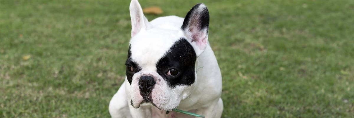 How to Fatten Up My French Bulldog - Tips