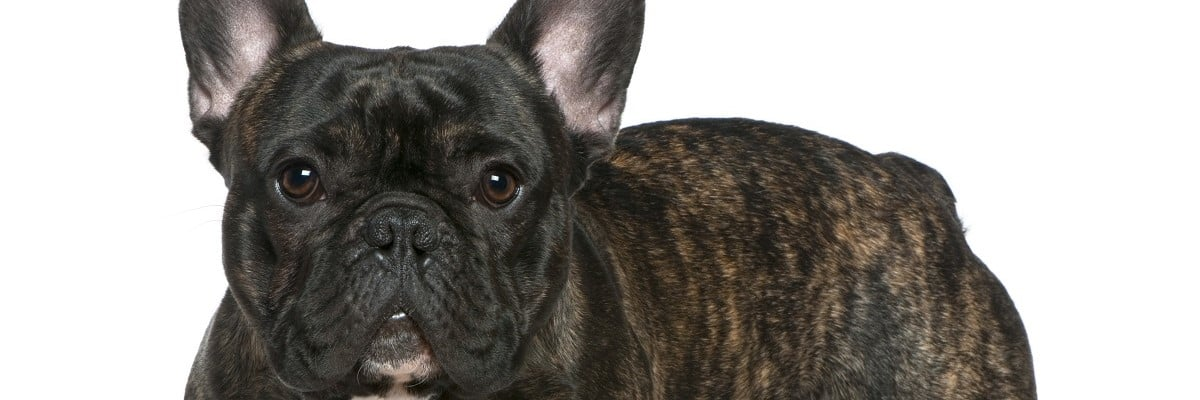 Are Brindle French Bulldogs Rare?