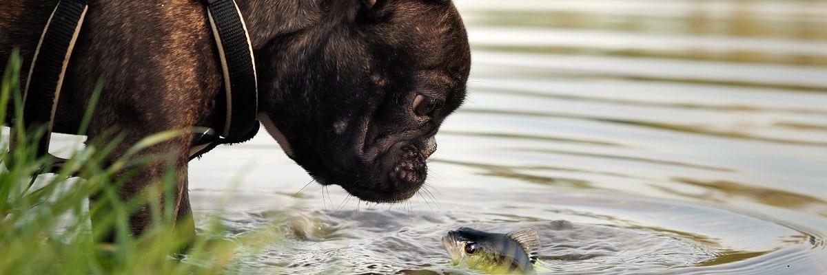 French Bulldog Eat Fish
