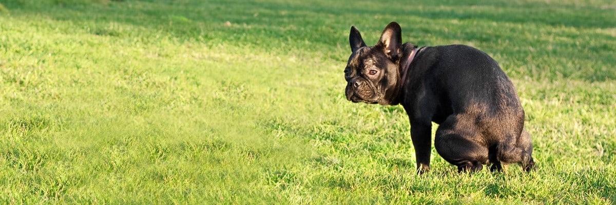 French Bulldog Eating Poop